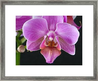 A Brilliant Orchid II Framed Print by Charlie Osborn