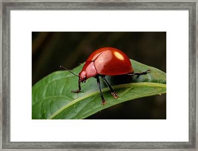 A Brilliantly Red Leaf Beetle Framed Print