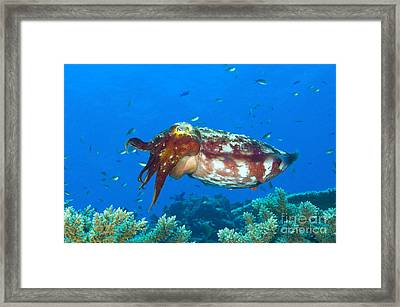 A Broadclub Cuttlefish, Kimbe Bay Framed Print