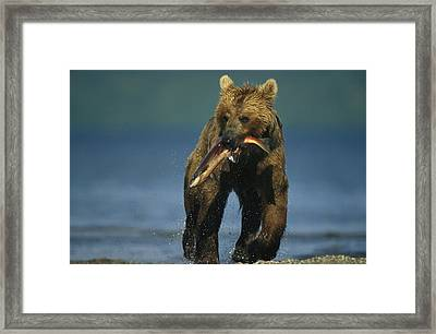 A Brown Bear Eating A Freshly Caught Framed Print by Klaus Nigge