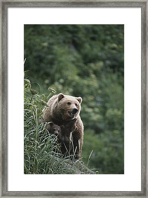 A Brown Bear Sow With Her Twin Cubs Framed Print by Tom Murphy