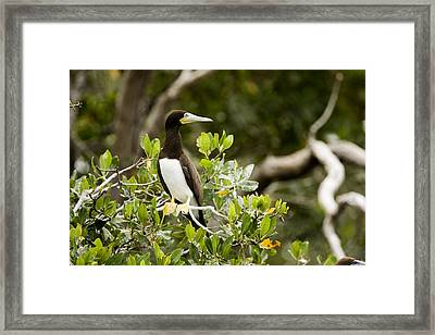 A Brown Booby Sula Leucogaster Framed Print