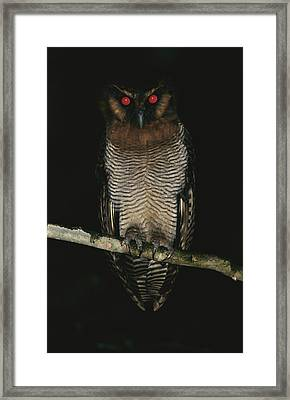 A Brown Wood Owl, Strix Leptogrammica Framed Print by Tim Laman