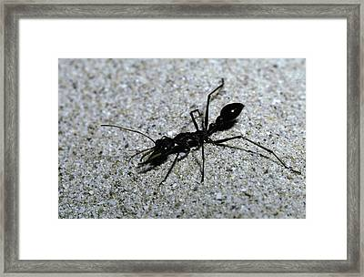 A Bull Ant With Jaws Opened Framed Print by Jason Edwards