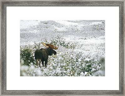 A Bull Moose On A Snow Covered Hillside Framed Print by Rich Reid