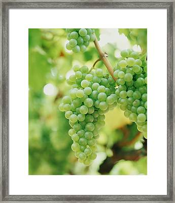 A Bunch Of Green Grapes Hanging From The Vine Framed Print by Victoria Pearson