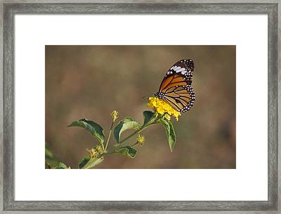 A Butterfly Feeds On Bright Yellow Framed Print by Jason Edwards