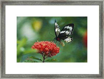 A Butterfly On A Clustered Flower Framed Print