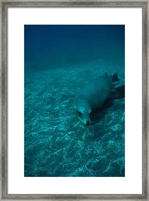 A California Sea Lion Swims Close Framed Print by Heather Perry