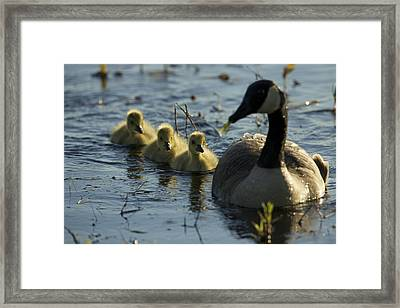 A Canada Goose Branta Canadensis Family Framed Print by Tim Laman