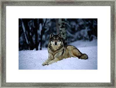 A Captive Grey Wolf, Canis Lupus Framed Print by Joel Sartore