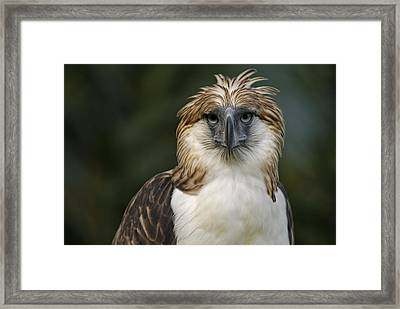 A Captive Male Philippine Eagle Framed Print