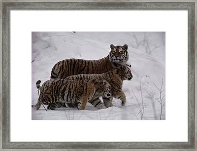 A Captive Siberian Tiger And Her Cubs Framed Print