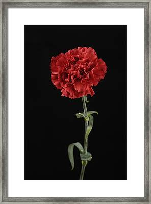 A Carnation Dianthus Caryophyllus Framed Print by Joel Sartore