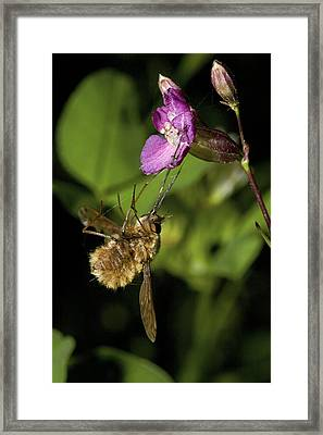 A Caught Bee-fly Framed Print by Bob Gibbons