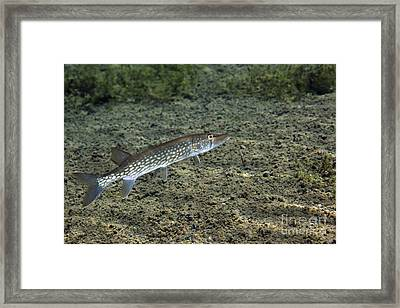 A Chain Pickerel Wimming The River Framed Print by Terry Moore