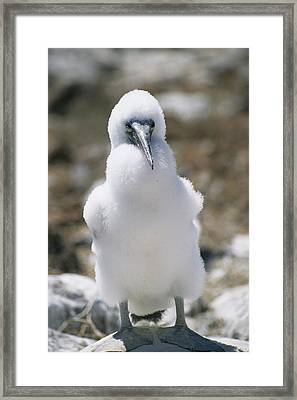 A Chick Blue Footed Booby Sits Framed Print by Gina Martin