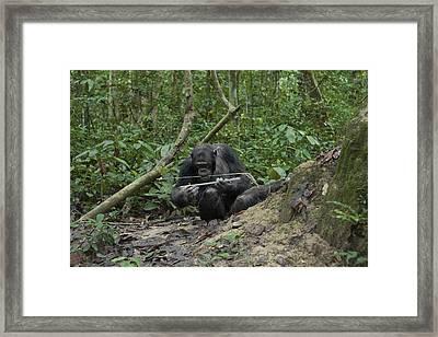 A Chimp At A Termite Mound Fishing Framed Print by Ian Nichols