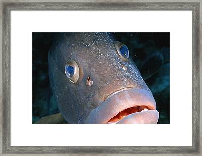 A Close-up Of A Nassau Grouper Fish Framed Print by Wolcott Henry