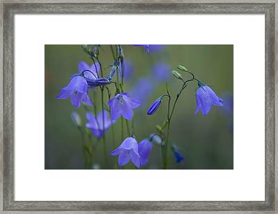 A Close Up Of Mountain Hairbells Dietes Framed Print by Ralph Lee Hopkins