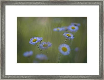 A Close Up Of Purple Aster And Daisy Framed Print
