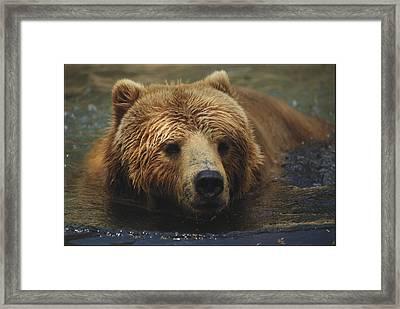 A Close View Of A Captive Kodiak Bear Framed Print by Tim Laman