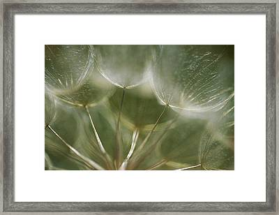 A Close View Of A Dandelion Seed Head Framed Print