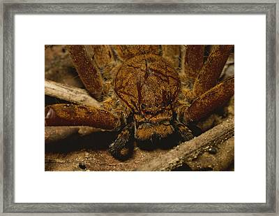 A Close View Of A Large Huntsman Framed Print by Tim Laman