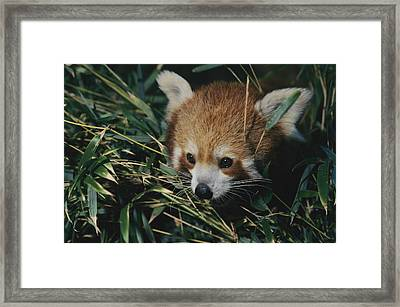 A Close View Of A Red Panda Framed Print by Nick Caloyianis