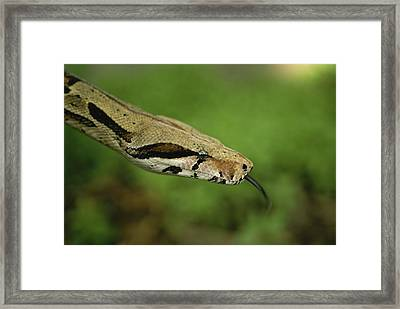 A Close View Of A Red-tailed Boa Framed Print by Joel Sartore