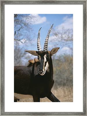 A Close View Of A Sable Antelope Framed Print by Beverly Joubert
