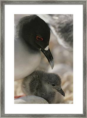 A Close View Of A Swallow Tailed Gull Framed Print by Michael Melford