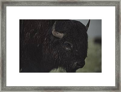 A Close View Of An American Bison Wet Framed Print