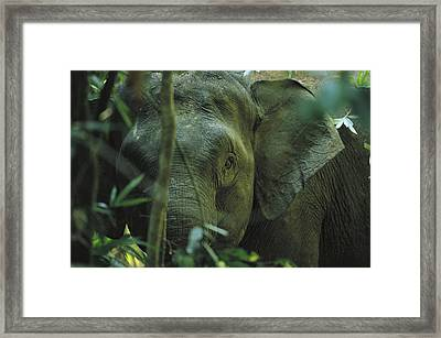 A Close View Of An Asian Elephant Framed Print by Tim Laman