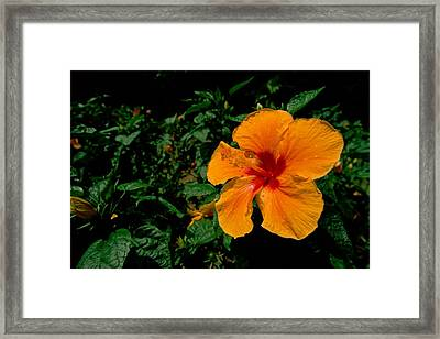A Close View Of An Hibiscus Flower Framed Print by Tim Laman