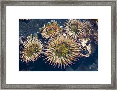 A Close View Of Anemones Framed Print by Taylor S. Kennedy