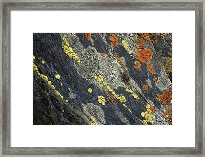 A Close View Of Crustose Lichens Framed Print by Sylvia Sharnoff