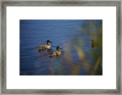 A Close View Of Ducks Swimming In Water Framed Print