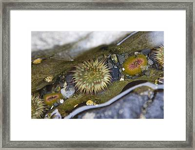 A Close View Of Sea Anemones On A Beach Framed Print by Taylor S. Kennedy
