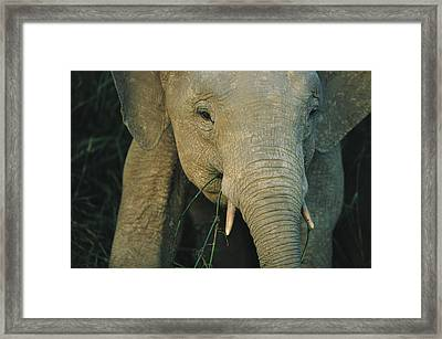 A Close View Of The Face Of A Young Framed Print by Tim Laman