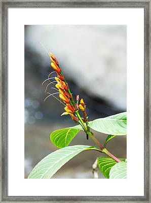 A Close View Of The Golden Zebra Plant Framed Print