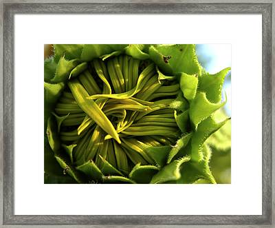 A Closeup Of A Sunflower Bud Not Yet Framed Print by Amy White & Al Petteway