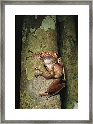 A Collets Tree Frog Rhacophorus Colleti Framed Print by Tim Laman