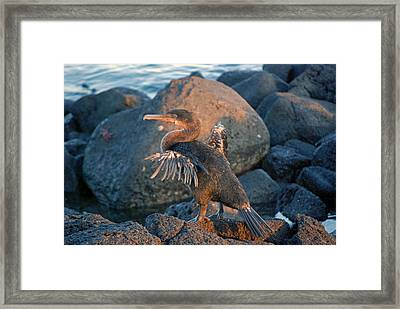 A Cormorant At Sunset Framed Print