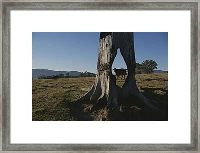 A Cow Is Framed By A Tree Trunk Framed Print by Sam Abell