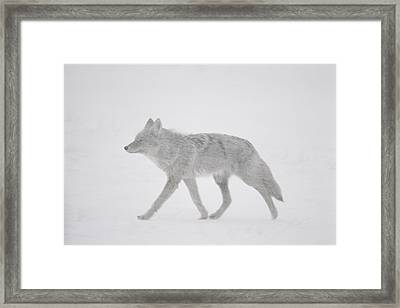 A Coyote Canis Latrans Moves Framed Print by Annie Griffiths