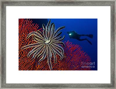 A Crinoid On A Bright Red Sea Fan Framed Print by Steve Jones