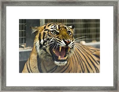 A Critically Endangered Sumatran Tiger Framed Print by Jason Edwards
