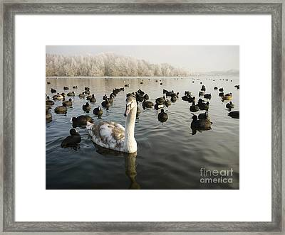 A Cygnets First Winter Framed Print by John Chatterley