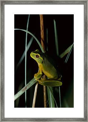 A Dainty Green Tree-frog Climbing Framed Print